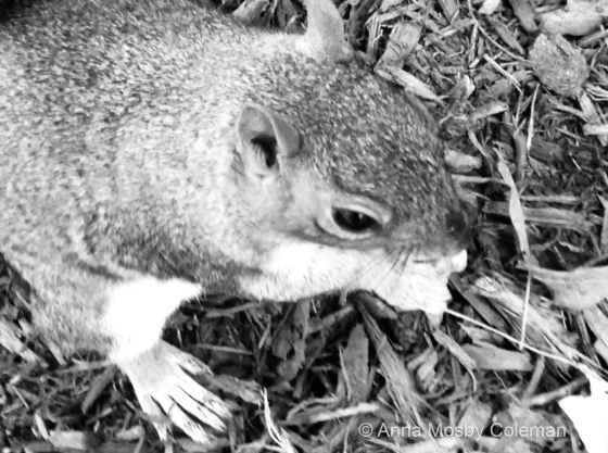 Grey_Squirrel_Literally©2017_AnnaMosbyColeman