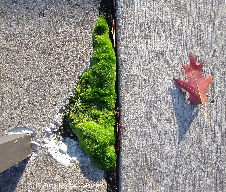 moss-leaf-©AnnaMosbyColeman-110519